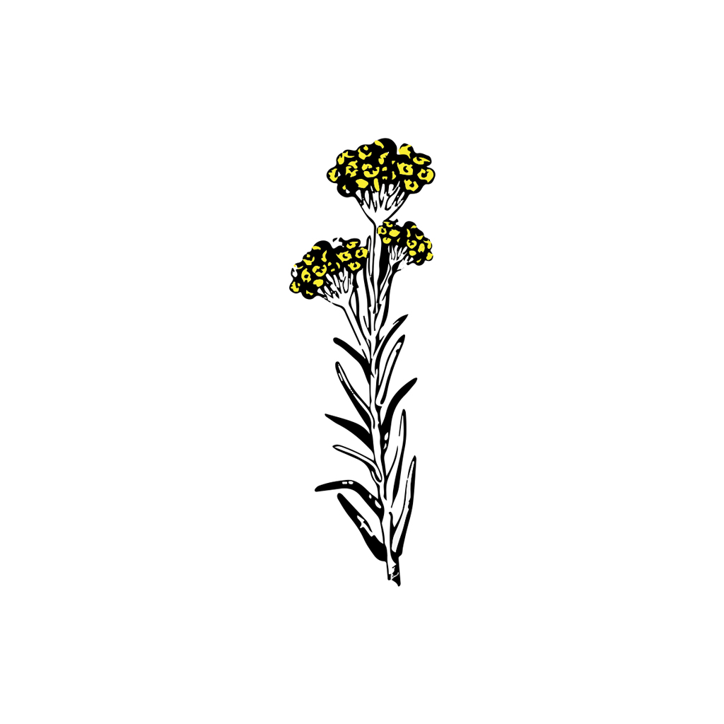 Helicriso italicum