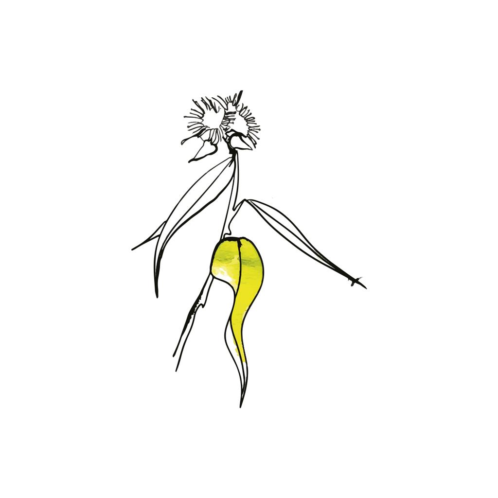 Eucalipto limón