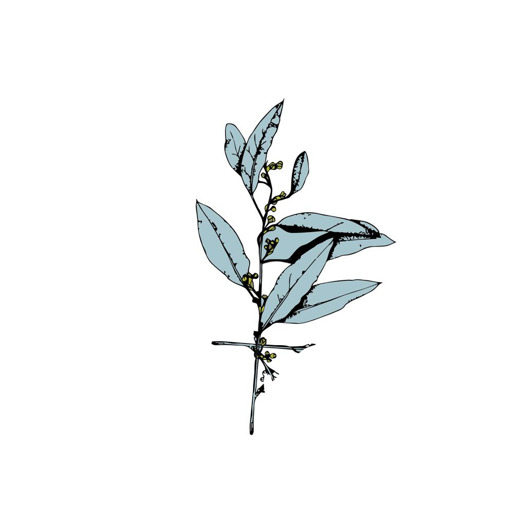 Verbena exótica
